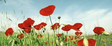 Tulipanes hermosos, panorama Foto de archivo libre de regalías