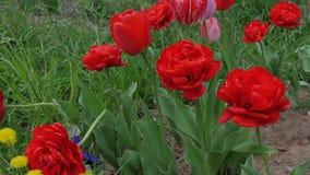 Tulipanes hermosos, rojos que crecen en un campo en el viento Cámara lenta almacen de video