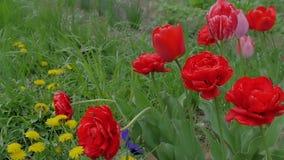 Tulipanes hermosos, rojos que crecen en un campo en el viento Cámara lenta almacen de metraje de vídeo