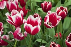 Tulipanes hermosos y coloridos en el parque foto de archivo