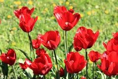 Tulipanes, hierba y dientes de león rojos imagenes de archivo