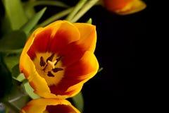 Tulipanes holandeses Foto de archivo libre de regalías