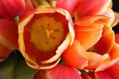 Tulipanes holandeses Fotografía de archivo libre de regalías