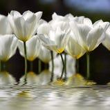 Tulipanes ideales fotografía de archivo libre de regalías