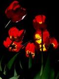 Tulipanes iluminados en noche Fotografía de archivo libre de regalías