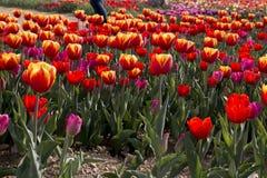 Tulipanes italianos Imágenes de archivo libres de regalías
