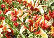 Tulipanes llameantes Foto de archivo libre de regalías