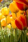 Tulipanes magníficos de la primavera amarilla y roja vistos de debajo imagen de archivo libre de regalías