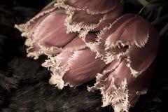 Tulipanes melenudos doblados Imágenes de archivo libres de regalías