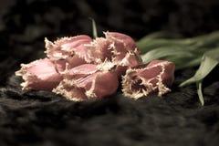 Tulipanes melenudos doblados Imagen de archivo libre de regalías