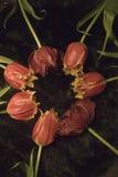 Tulipanes melenudos doblados en un círculo Fotografía de archivo