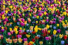 Tulipanes mezclados hermosos en tiempo soleado en Holanda foto de archivo