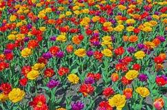 Tulipanes multicolores Fotos de archivo libres de regalías