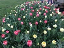 Tulipanes multicolores Fotos de archivo