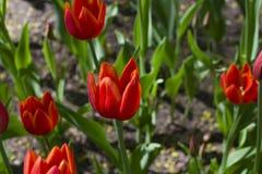 Tulipanes multicolores brillantes encendidos por la sol de la primavera imagen de archivo