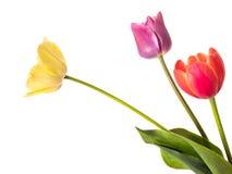 Tulipanes multicolores de las flores del colorante natural fotografía de archivo libre de regalías