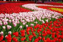 Tulipanes multicolores en el jardín Foto de archivo libre de regalías