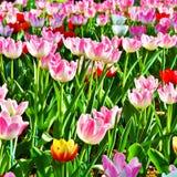 Tulipanes multicolores en un parque Fotografía de archivo