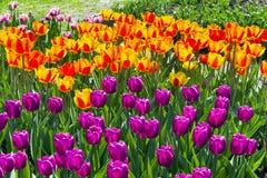Tulipanes multicolores hermosos foto de archivo libre de regalías