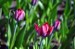 Tulipanes multicolores hermosos en las calles de una ciudad grande imagen de archivo