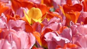 Tulipanes multicolores hermosos que se sacuden en el viento metrajes