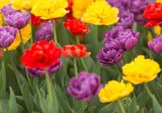 Tulipanes multicolores - horizontales Foto de archivo