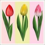 Tulipanes multicolores, mensajeros de la primavera que viene Foto de archivo
