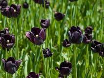 Tulipanes negros fotografía de archivo libre de regalías