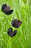 Tulipanes negros Imágenes de archivo libres de regalías