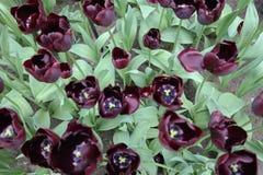 Tulipanes negros peculiares imagenes de archivo