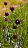 Tulipanes oscuro-violetas holandeses Imagenes de archivo