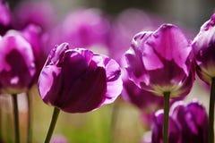 Tulipanes púrpuras Fotos de archivo