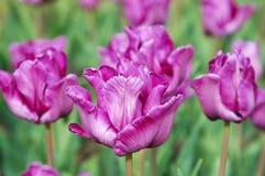 Tulipanes púrpuras Imagenes de archivo