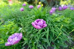 Tulipanes púrpuras Imagen de archivo
