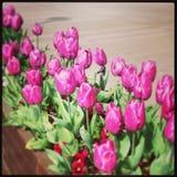 Tulipanes púrpuras Fotografía de archivo