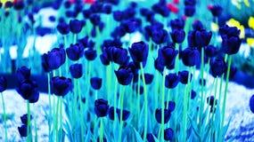 Tulipanes púrpuras imagen de archivo libre de regalías