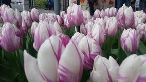 Tulipanes púrpuras blancos imagen de archivo libre de regalías