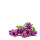 Tulipanes púrpuras con las gotitas Fotos de archivo