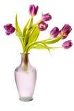 Tulipanes púrpuras del resorte aislados imágenes de archivo libres de regalías