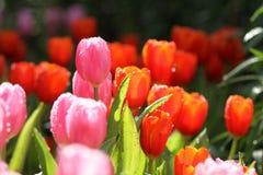 Tulipanes púrpuras/del rosa Foto de archivo