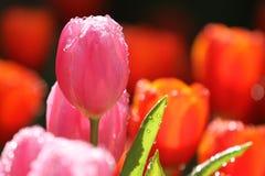 Tulipanes púrpuras/del rosa Fotos de archivo libres de regalías