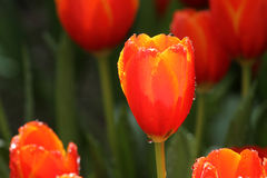 Tulipanes púrpuras/del rosa Imagen de archivo