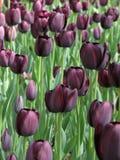 Tulipanes púrpuras en la floración Imagenes de archivo
