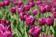 Tulipanes púrpuras en la plena floración foto de archivo