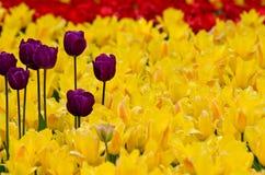 Tulipanes púrpuras en un fondo de tulipanes amarillos Foto de archivo libre de regalías