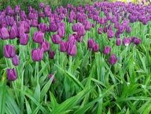 Tulipanes púrpuras floración, floreciendo maravillosamente imagenes de archivo