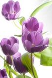 Tulipanes púrpuras hermosos Fotografía de archivo libre de regalías