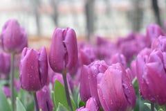Tulipanes púrpuras hermosos en el jardín de la primavera Fotografía de archivo