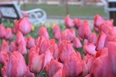 Tulipanes púrpuras hermosos en el jardín de la primavera Imagen de archivo libre de regalías