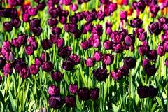 Tulipanes púrpuras hermosos en tiempo soleado en Holanda imagen de archivo libre de regalías